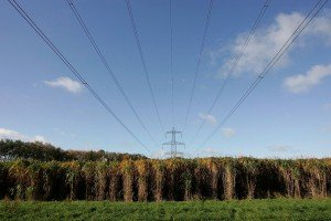 Image of mature Giant Miscanthus Giganteus growing under main grid electricity wires
