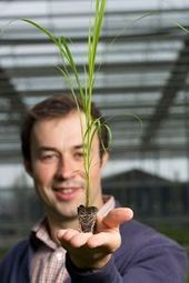 Scientists in Wales are developing ways to produce Miscanthus faster