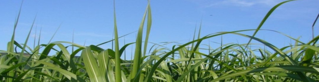 Image of AgriKinetics header showing Miscanthus Giganteus in full growth with a chopped cane inset