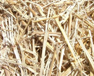 Pretreatment of Miscanthus via microwave