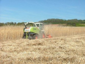 Image of Miscanthus Harvest using Claas Harvester