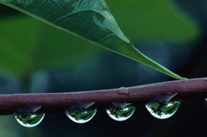Image of four droplets on a branch