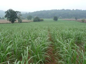 Miscanthus care is mainly needed in year one