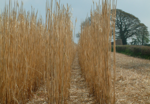 Image of Miscanthus fully senesced