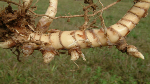 Image of a rhizome